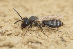 Andrena flavipes , male (henk.wallays) Tags: