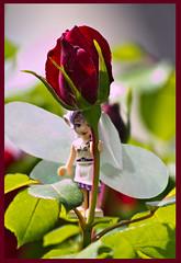 AH62_7674 (der_andyrandy) Tags: blumen blte rose elfe garten natur macro amazingamazing canoneos7d