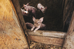 Little Pigs Never Get Tired (SerCorzo) Tags: morning light sun luz sol maana animal animals sunrise piggy pig town farm pueblo amanecer pigs animales babypig granja cerdo cerditos