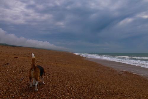 Beagle on a beach