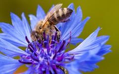 _MG_7819 (TobiasW.) Tags: blue field weather clouds feld wolken blau wetter cornflowers cornflowerfield kronblumen kronblumenfeld