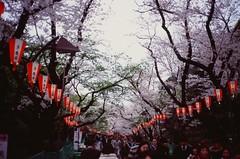 () Tags: japan tokyo cherryblossom  sakura  hanami uenopark contaxt2    fujifilmvelvia100f