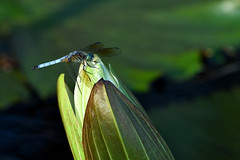 LongwoodGardens_06_18_2016_DSC_1073 (Jeff Adukinas) Tags: water insect waterlily dragonfly longwoodgardens liliy