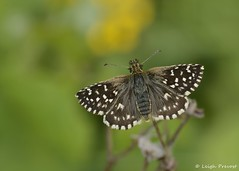 Grizzled Skipper, Pyrgus malvae (Nature Exposed) Tags: nature butterfly sussex westsussex wildlife skipper butterflies lepidoptera shoreham millhill skippers grizzledskipper wildlifephotography natureexposed leighprevost leighprevostphotography