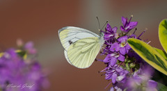 Butterfly! (Marc de Graaf) Tags: life travel art love butterfly garden photography nikon europe sharp special just