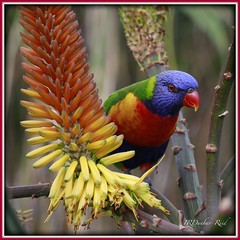 Rainbow Lorikeet (2) (idunbarreid) Tags: rainbow lorikeet