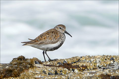 Dunlin (McRusty) Tags: sea wild west bird beautiful rock bay scotland waves outdoor calidris alpina north stint shore dunlin wader sandwood