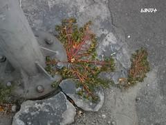 / Birdweed (ruta / ) Tags: plant grass weed urbannature