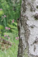 Green woodpecker (sflangridge) Tags: bird birds woodpecker greenwoodpecker londonloop aphotoaday busheypark