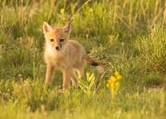 Swift Kit (girltwin) Tags: baby cute nikon colorado den fox kit d500 ault pawneegrasslands briggsdale gilrtwin swiftfoxkit