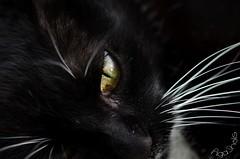 DSC_7951-7 (Kopiowanie) (Aga'Shots) Tags: pet cats macro cute eye nature grass animal cat kitty cateye
