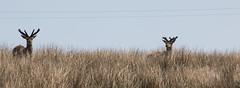 Jura 2016 (26) (Yorkshire Reckless & Proud) Tags: blue sea cloud sun lighthouse white yellow ferry port landscape photography bay boat photo sand stag harbour whiskey inner deer hills islay jura bouy distillery hebrides bruichladdich saligo kilhoman weymms