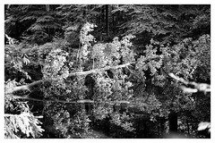 magic forrest II (TK@Pictures) Tags: leica trees reflections 50mm blackwhite forrest apo monochrom hardt m246
