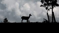Deer Silhouette (Aadilos) Tags: silhouette nikon sigma deer hert 18105 d5200