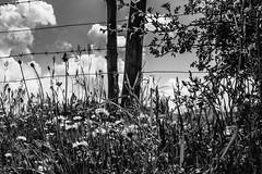 Entre alambradas (cmarga28) Tags: bw flores campo country margaritas naturaleza natura belleza sencillez soul hermoso alambres alambrada cielo nubes hierba green montaa len spain espaa picosdeeuropa nikon digital photography photographers raw d750