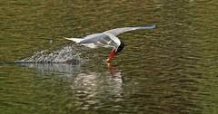 Caspean Tern 061816 (SteveJnerChicago) Tags: chicago bird nature water wildlife sony tern ilca77m2 caspeantern