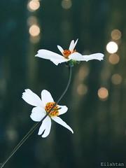 Return to the light (nathaliedunaigre) Tags: flowers light summer white nature fleurs bokeh lumire t blanc