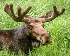 Side Eye from Bullwinkle (floyka) Tags: wild nature grass animal mammal colorado stag outdoor wildlife moose bull antlers rmnp rockymountainnationalpark 2016 floyka
