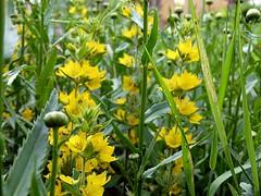 2016-06-25 yellow punctatas (2)f (april-mo) Tags: punctata yellow yellowflower summer fleur flower garden jardin