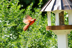 Cardinal (pete.staffier) Tags: bird birds animal animals outside exterior cardinal wildlife aves zoology avain