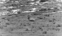 A Lone Bighorn Sheep on a Hillside (Black & White) (thor_mark ) Tags: nature blackwhite unitedstates jackson wyoming day3 hillside sagebrush bighornsheep lookingse project365 nationalelkrefuge colorefexpro wyomingcountryside nikond800e capturenx2edited sigma150500mmf563afapodgoshsmtelephotozoomlensfor sigma150500mmf563afapodgoshsmtelephotozoomlensfornikon