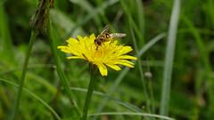 fly on flower (Oerliuschi) Tags: natur wiese blte insekten schwebfliege