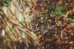 Flores, eu amo flores <3 (alinedeamorim) Tags: flowers flores liz folhas amor dia inverno marrom gramado suavidade