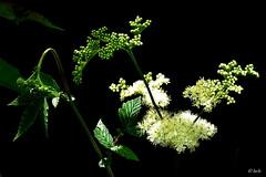 Meadowsweet 'Filipendula ulmaria' (Helen:) Tags: meadowsweet filipendulaulmaria wildflower