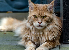 Tocho (t.boelaars) Tags: pet animal cat big kat maine coon mainecoon portret dieren poes kater poseren