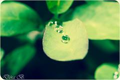 Green (Dóra B.) Tags: green rain iceland leaf pretty day shine sommer drop regn ísland náttúra líf garður akureyri dropi grænt ljúft lystigarðurinn dorabirgis