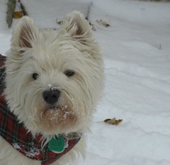 "11/12B ~ ""First Snow of the Season"" (ellenc995) Tags: winter snow riley westie westhighlandwhiteterrier coth supershot fantasticnature abigfave pet100 platinumheartaward rubyphotographer 100commentgroup alittlebeauty coth5 ruby10 thesunshinegroup 12monthsfordogs14"