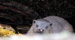 Otter (Blackbearjim) Tags: