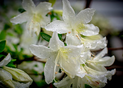 my stars (Isaiah62:1) Tags: flowers nikon rhododendron vignetting whiterhododendron d5200 floraaroundtheworld