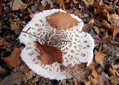 nagy zlbgomba / parasol mushroom (debreczeniemoke) Tags: autumn mushroom forest parasol parasole parasolmushroom ombrellone gomba coulemelle sz erd mazzaditamburo macrolepiotaprocera agaricaceae lpioteleve riesenschirmpilz nagyzlbgomba canonpowershotsx20is bubbolamaggiore puppola gemeineriesenschirmling plriaarpeluiparasol bureteerpesc csiperkeflk