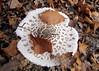 nagy őzlábgomba / parasol mushroom (debreczeniemoke) Tags: autumn mushroom forest parasol parasole parasolmushroom ombrellone gomba coulemelle ősz erdő mazzaditamburo macrolepiotaprocera agaricaceae lépioteélevée riesenschirmpilz nagyőzlábgomba canonpowershotsx20is bubbolamaggiore puppola gemeineriesenschirmling pălăriaşarpeluiparasol bureteşerpesc csiperkefélék