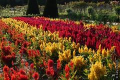 Célosies dans le Potager des fleurs du Château de Chenonceau (2014-08-20 -34) (Cary Greisch) Tags: france fra chenonceaux touraine indreetloire châteaudechenonceau carygreisch célosie lepotagerdesfleurs