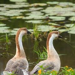 1+1. (egozinic) Tags: life bird nature birds animals geese russia like goose siberia natgeo    altai altay