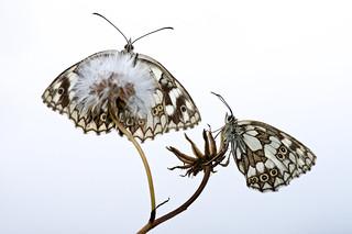 Marbled White (Melanargia galathea, dambordje)