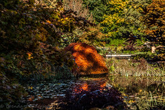 An explosion of color.  Or colour. (Culinary Fool) Tags: november autumn canada color fall water vancouver reeds pond bc seasons britishcolumbia mapletree 2014 culinaryfool vandusenbotanicalgarden 2470mm28 brendajpederson