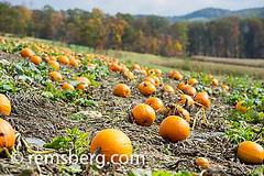 Pumpkins in a pumpkin patch in Millerstown, Pennsylvania, USA (Remsberg Photos) Tags: autumn usa fall halloween pie october pennsylvania pumpkins farming harvest ag farms patch agriculture millerstown