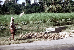 24-863 (ndpa / s. lundeen, archivist) Tags: people bali man color film hat birds rural 35mm indonesia geese path nick ducks trail southpacific barefoot stick 24 1970s 1972 indonesian balinese duckherd dewolf pithhelmet oceania pacificislands herder gaggle gaggleofgeese nickdewolf photographbynickdewolf duckherder duckherding gooseherder reel24