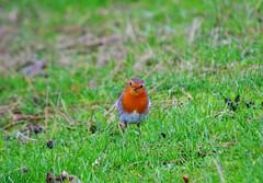 Stand Off (Michelle O'Connell Photography) Tags: winter bird robin scotland community glasgow europeanrobin thrush robinredbreast drumchapel g15 winterbird drumchapelglasgow drumchapellifesofar michelleoconnellphotography