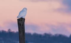 Snowy Owl (Ron Gallagher Photography) Tags: sun white snow male bird birds sunrise fence nikon post snowy birding hunting pole 300mm owl perched 28 rise moring snowyowl d7100