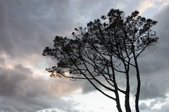 France - Pays basque - Pin (Isa G2S) Tags: winter sunset sky storm tree nature rose pine clouds soleil pin hiver ciel arbres nuages tempete