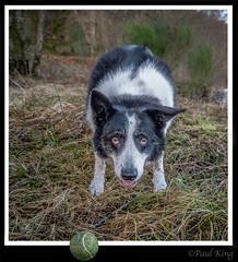 Ben and his ball (focusmania) Tags: ball collie ben border fetch