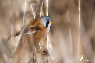 Mr Panure à moustaches - Panurus biarmicus - Bearded Reedling