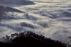 The Stand of Pine Trees in a River of Clouds at Barog Valley, India (Anoop Negi) Tags: winter india sunshine clouds river landscape photography photo valley indie anoop indien himachal himalayas inde pradesh negi  dagshai  ndia solan  barog  ezee123  intia  n        ndia n indi