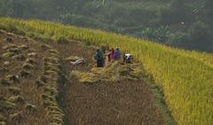 Vietnam - rice harvest (happy.apple) Tags: work women rice farm harvest vietnam riceterraces