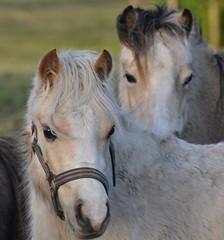Little Pony (wilma HW61) Tags: pony dames golddragon anawesomeshot ultimateshot flickrdiamond westerhoud hw61wilma basnederlandniederlandenikon d90hollandholandawilma paarddames paarddierenanimalbeasttieranimauxklein paardmanenorenoorenclose uppays