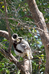 Coquerel sifaka and baby